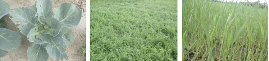 Photos of bare soil, hairy vetch, and winter rye cover crops (from left to right) in cabbage field, spring 2012.