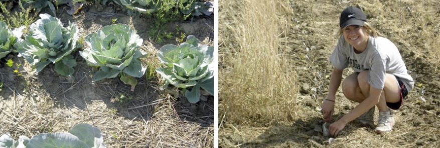 Photos of crimped and standing rye plots in cabbage (from left to right).