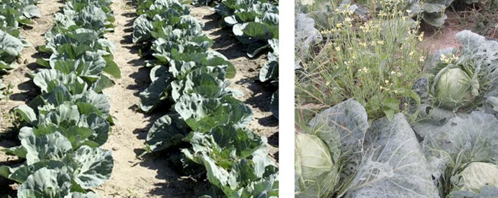 Photos of high and low intensity weed management plots in cabbage (from left to right).